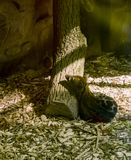 Tigrina de Genetta image libre de droits