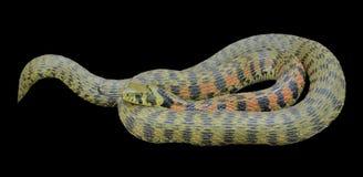 Tigrina 19 de Rhabdophis de la serpiente Imagenes de archivo