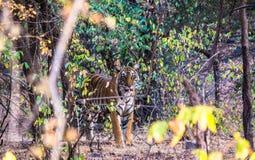 Tigrinna i ranthambore Arkivfoton