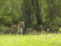 Tigrinna med gröngölingar på ett byte på maharashtraen för Tadoba tigerreserv, Indien royaltyfri foto