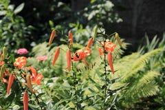Tigrinum de Lilium Photographie stock