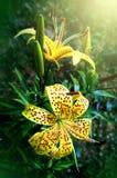Tigrinum de Lilium de fleurs Photographie stock libre de droits