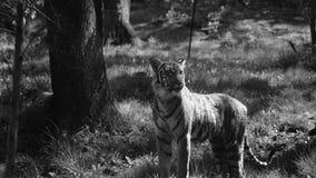 tigris Imagen de archivo libre de regalías
