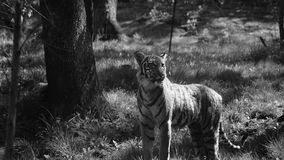 tigris Royalty-vrije Stock Afbeelding