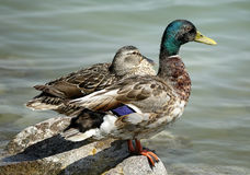 The Tihany peninsula in Hungary. Wild-ducks at Tihany, Hungary Royalty Free Stock Image