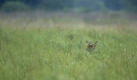 Tiher chuje w wysokiej trawie przy Dhikala Fotografia Stock