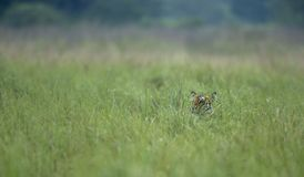 Tiher hiding in tall grass at Dhikala stock photography