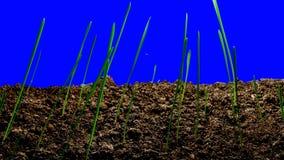 """Tijd-tijdspanne Groen Gras die Geïsoleerde †kweken """" stock footage"""