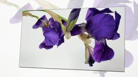 Tijd-tijdspanne van bloemen het bloeien stock video
