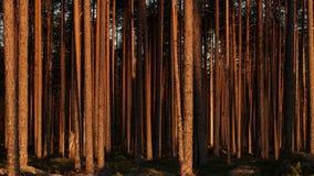 Tijd-tijdspanne van de pijnboom de boszonsondergang stock video
