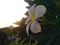 Tijd van zonsondergang met deze witte bloem royalty-vrije stock foto