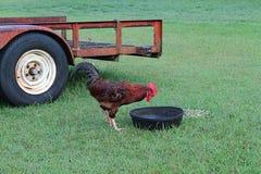 Tijd voor Ontbijtcock-a-doodle-do Royalty-vrije Stock Fotografie