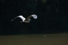 Tijdens de vlucht cinerea Gray Heron Ardea Stock Foto