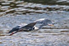 Tijdens de vlucht cinerea Grey Heron Ardea stock fotografie
