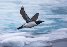 Tijdens de vlucht dik-gefactureerd murre dichtbij Spitsbergen, Noorwegen royalty-vrije stock foto's