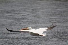 Tijdens de vlucht de pelikaan van Wisconsin royalty-vrije stock fotografie