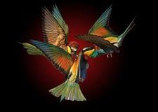Tijdens de vlucht vecht de drie gekleurde vogel Stock Foto's