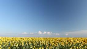 Tijdtijdspanne met zonnebloemen en bewegende wolken, blauwe hemel stock footage