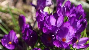 Tijdtijdspanne van bloeiende krokus stock videobeelden