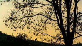 Tijdtijdspanne van boomsilhouet met de achtergrond van de zonsonderganghemel stock footage