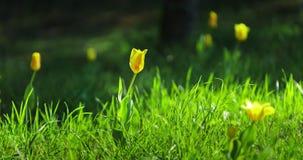 Tijdtijdspanne van gele tulpen die in weide bloeien