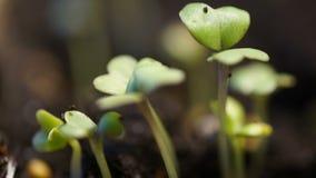 Tijdtijdspanne van groentezaden die of van de grond groeien ontspruiten De tijdspanne van de de lentetijd, macroaard, prachtige w stock videobeelden