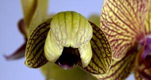 Tijdtijdspanne van het Gele Orchideebloem Openen stock video