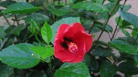 Tijdtijdspanne van hibiscusbloem stock videobeelden