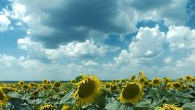 Tijdtijdspanne: witte grijze wolkenvlotter boven het gebied van zonnebloemen stock videobeelden