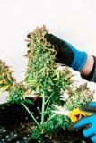 Tijeras que arreglan la marijuana interior madura foto de archivo libre de regalías