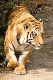 Tijger 1 van Bengalen Royalty-vrije Stock Foto