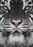 tijger stock foto