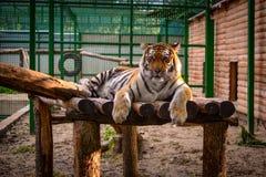Tijger bij de dierentuin Stock Afbeelding