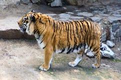 Tijger in de bijlagedierentuin Royalty-vrije Stock Fotografie