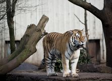 Tijger in de dierentuin Stock Foto's