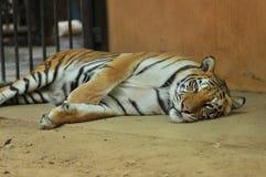 Tijger in de dierentuin Royalty-vrije Stock Foto