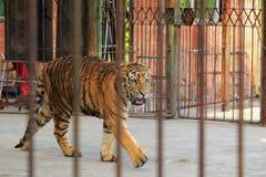 Tijger in de dierentuin Stock Afbeeldingen