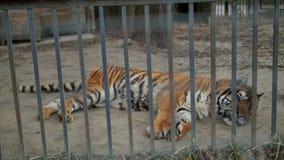 Tijger in de dierentuinkooi stock footage