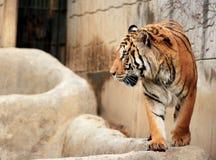 Tijger in de grote dierentuin van de Kinderen van Seoel Stock Foto