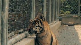 Tijger in de tijgerdierentuin achter de omheining stock footage