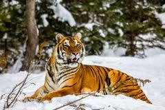 Tijger die in de sneeuw leggen Stock Afbeeldingen