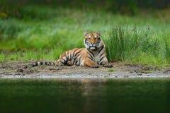 Tijger die dichtbij het rivierwater liggen Het wildscène van de tijgeractie, wilde kat, aardhabitat Tijger met greenwatergras Gev Stock Foto