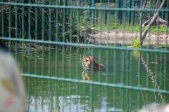 Tijger die in een dierentuin zwemmen; kooibars in voorgrond stock afbeelding