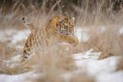 Tijger die in geel gras in de winter springen stock fotografie