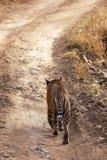 De tijger op snuffelt rond. Royalty-vrije Stock Afbeeldingen