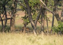 Tijger die uit uit bebost gebied bij het Nationale Park van Kanha, Madhya Pradesh, India komen stock fotografie