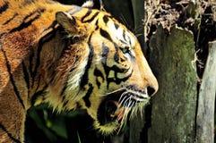 Tijger die van Sumatra in de wildernis zwemt Stock Foto's