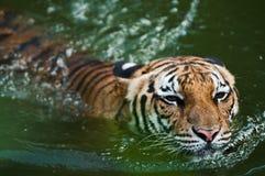Tijger die in vijver zwemt Stock Foto's