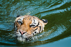Tijger die in vijver zwemt royalty-vrije stock afbeelding