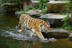 Tijger die in water waadt royalty-vrije stock foto